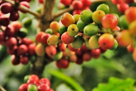 varietà di caffè nel mondo